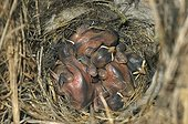 Eggs of eurasian tree sparrow in a nest box in Switzerland ; 4-5 years chicks.