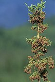 White-winged Crossbill eating pine cones
