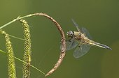 Four spotted skimmer on a ear of Sedge in Switzerland