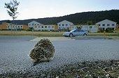 Western european hedgehog on the roadside Switzerland