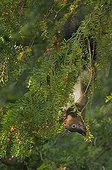 Red Squirrel eating fruits of english yew in Switzerland