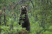 Female Brown bear bothered by human presence Norway ; Female protecting her cubs.
