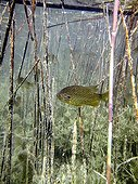 Pumpkinseed in the Durance's River France