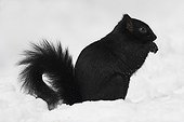 Melanic Eastern Grey Squirrel eating in the snow Canada