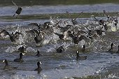 Common coots taking evasive during Marsh Harrier attack
