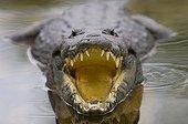 Morelet's Crocodile in the Tikal National Park Guatemala ; Victoria peak in distance.