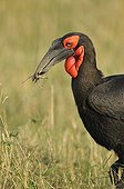 Southern Ground-hornbill with a cricket in its beak Kenya