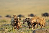 Spotted Hyaena with a young Wildebeest carcass Kenya ; It looks three hyenasup and down