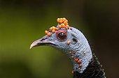 Portrait of an ocellated turkey Tikal NP Guatemala