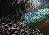 Detail of feather of ocellated turkey Guatemala