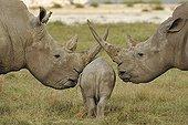 Jeune Rhinocéros passant entre ses parents PN du lac Nakuru
