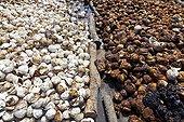 Rubber balls Krabi Thailand