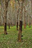 Rubber tree plantation Krabi Thailand