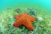 Starfish in a meadow of turtle grass in the Caribbean