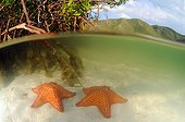 Starfishes in the mangrove, Cienega, national park Henri Pittier)