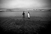King Penguins on the Ratmanoff beach Kerguelen Islands