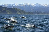 Dusky Dolphins jumping out of water New Zealand