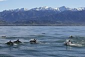 Dusky Dolphins swimming at surface New Zealand