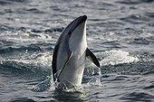 Dusky Dolphin leaping New Zealand
