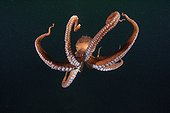 Pacific Giant Octopus swimming British Colombia Canada