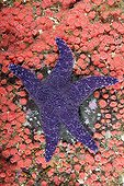 Ochre Sea Star amidst Strawberry Sea Anemones Canada