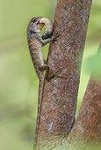 Garden fence Lizard feeding on large insecte larvae Thailand