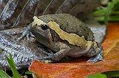 Asian painted Bullfrog in rainforest  Krabi Thailand
