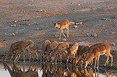 Black-faced Impala at a waterhole in Etosha NP in Namibia