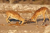 Black-faced Impala fighting in the Etosha NP in Namibia