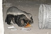 Honey Badgers rummaging through the garbage Etosha NP