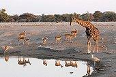 Giraffe Impalas and Bustard at a waterhole Etosha NP Namibia