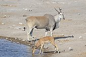 Cape Eland and Impala Black-faced in a waterNamibia