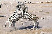 Fight Zebras Etosha NP in Namibia