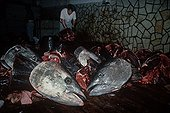 Cutting Bluefin Tuna at slaughterhouse Sicile ; Japanese supervise the cutting of Bluefin Tuna at slaughterhouse, being prepared to be frozen, and later shipped abroad.