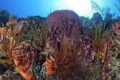 Crinoids and Sponge in coral reef Dominica Caribbean Sea