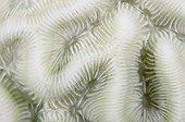 Corail blanchi Dominique Mer des Caraïbes ; Les Polypes dans les zones blanches ont expulsé leurs algues symbiotiques zooxanthelles, probablement en raison d'une eau trop chaude. Ce Corail peut mourir bientôt.