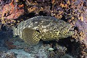 Four-foot long Goliath Grouper cleaning by cleaner Gobie