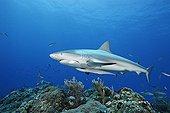 Carribean Reef Shark swimming above reef Bahamas