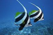 Longfin Bannerfishes Kiribati Pacific Ocean