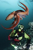 Pacific Giant Octopus interacts with scuba diver Canada