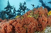 Raspberry Soft Coral Sponges and Sea Anemones Canada