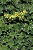 Dwarf lady's-mantle in bloom