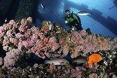 Plongeur au dessus du récif artificiel d'une plateforme ; Plongeur explorant les récifs artificiels de la plate-forme pétrolière Eureka. Les poutres métalliques s'animent avec les invertébrés dont l'anémone de mer fraise(Corynactis californica), les Pétoncles des rochers (Hinnites giganteus), les Moules de Californie (Mytilus californianus), et des poissons comme le Labre californien (Semicossyphus pulcher) et  le Garibaldi (Hypsypops rubicundis).