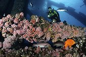 Diver above the artificial reef of an oil platformUSA ; scuba diver explores the vibrant artificial reef of offshore oil platform Eureka. Metal girders have come alive with invertebrates including Strawberry Sea Anemones (Corynactis californica), Rock Scallops (Hinnites giganteus), California Mussels (Mytilus californianus), and fish like California Sheepheads (Semicossyphus pulcher), Garibaldi (Hypsypops rubicundis), more.