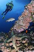 Plongeur au dessus du récif artificiel d'une plateforme ; Plongeur explorant les récifs artificiels de la plate-forme pétrolière Eureka. Les poutres métalliques s'animent avec les invertébrés dont l'anémone de mer fraise(Corynactis californica), les Pétoncles des rochers (Hinnites giganteus), les Moules de Californie (Mytilus californianus), Etoile de mer géante (Pisaster giganteus) et des poissons comme le Labre californien (Semicossyphus pulcher), le Garibaldi (Hypsypops rubicundis).