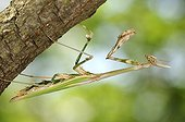 Empusa female under a branch France