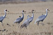 White-naped cranes and Sandhill crane in a field Japan