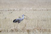 Sandhill crane in a field Japan