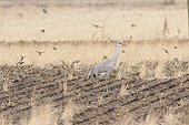 Sparrows flying around a Sandhill crane in a field Japan