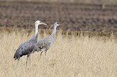 Hooded crane and Sandhill crane in a field Japan